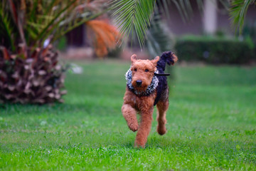 Airedale Terrier dog - puppy 11 month old.