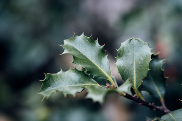 Close up of evergreen ilex holly branch with thorny leaves and blurry background, a traditional symbol for christmas and holiday season decoration or plant used for wreaths