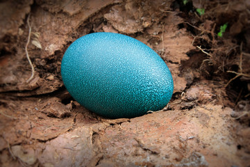 close up of  a single emu egg on the  ground