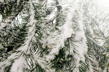 Natural background with pine branch in the snow, winter is coming concept, copy space