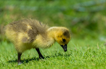 Baby Canada goose looking for food in the grass. He is wet, and very young.