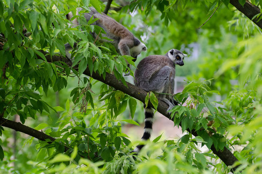 lemurs are sitting on a branch