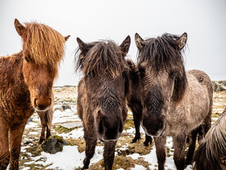 Group of Horses in Iceland