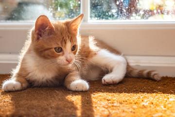 Ginger kitten resting by window