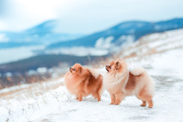 Wall Mural - Puppy Spitz in the mountains in winter