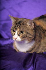brown with white cat on a purple background