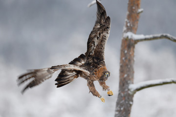 Golden Eagle bird in flight