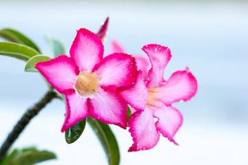 desert rose flower.