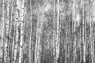 Black and white photo of black and white birches in birch grove with birch bark between other birches in winter on snow