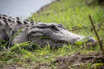 Nahaufnahme von einem Alligator am Ufer