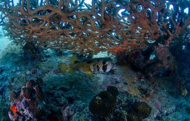Shortspine porcupinefish, Diodon liturosus