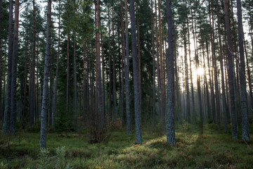 A dark forest with a dim sunset in the background