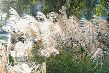 Close-up beige reeds in autumn sunny park.