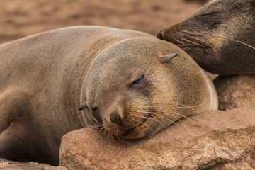 Fur Seal Basking at Cape Cross, Namibia