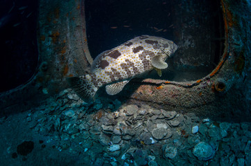 Malabar Grouper, Epinephelus malabaricus inside shipwreck