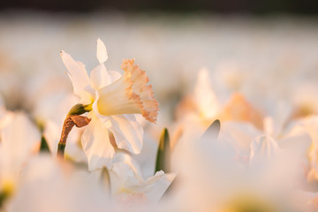 Garden Poster Narcissus Colorful blooming flower field with white Narcissus or daffodil closeup during sunset.