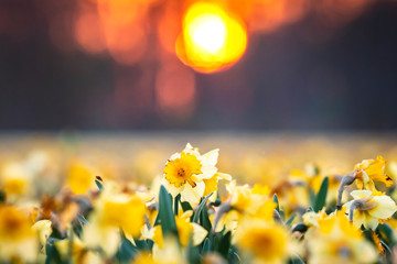 Foto auf Acrylglas Narzisse Colorful blooming flower field with yellow Narcissus or daffodil closeup during sunset.