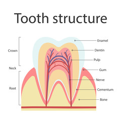 The structure of human teeth. The structure of the inside cross-section of the tooth. Vector illustration.