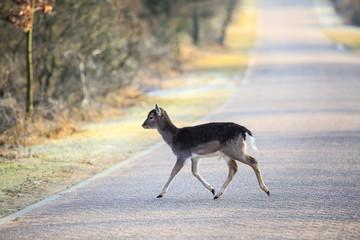 Fallow deer fawn crossing a road