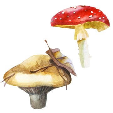 Watercolor illustration, image of mushrooms, set. Milk mushrooms and fly agaric.