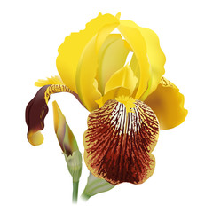 Iris flower. Hand drawn realistic vector illustration of delicate yellow bloom with rippled petals on white background.