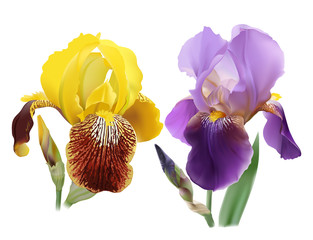 Iris flowers.Set of different colors. Hand drawn realistic vector illustration of delicate blooms with rippled petals on white background.
