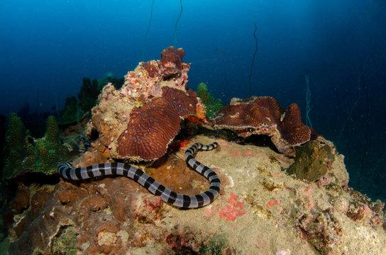 Banded sea krait, Laticauda colubrina