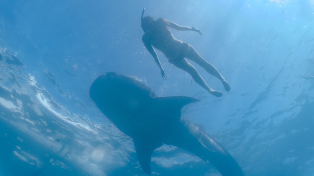 Whale shark watching and close interaction