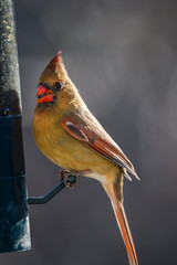 Female cardinal with sunflower seed at bird feeder
