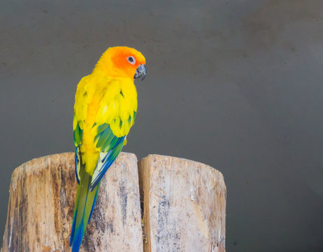beautiful jandaya parrot from the back, showing its colorful feathers and looking at the camera