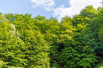 Trees in the Forest | Location: Beskid Sądecki, Carpathian Mountains, Lesser Poland Voivodeship, Poland