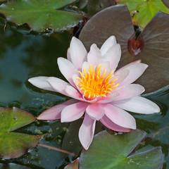 Blühende Seerose, Nymphaea
