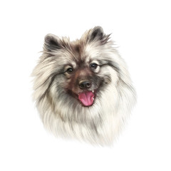 Realistic drawing of a handsome dog isolated on white background. The Pomeranian. Nice Spitz. Small Toy Dog Breed. Hand drawn Portrait. Animal art collection Dogs. Good for print T-shirt, pillow, card