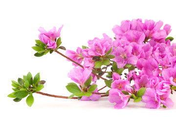 Purple Japanese Azalea isolated on white background. Selective focus. Bunch of many light purple color flowers.