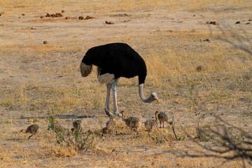 Vogel Strauß bei der Kükenaufzucht in der Savanne