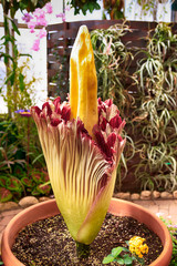 Rare blooming Corpse flower also known as the titan arum at the Tucson Botanical gardens in Arizona