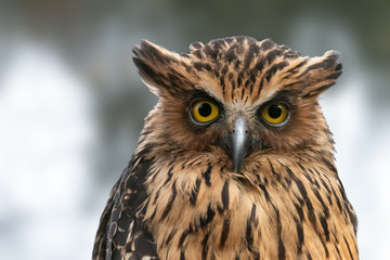Buffy Fish-owl close-up portrait. Malay fish owl (Ketupa ketupu)  with yellow eyes and raised ear tufts.