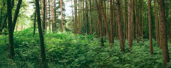 Photo sur Aluminium Europe de l Est Panorama Of Summer Mixed Forest In Eastern Europe. Panoramic Vie