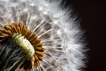 Dandelion, flower seeds, close up of flower head plant on black background
