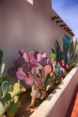 Purple Prickly Pear cactus and Agave against a wall in old Las Cruces NM