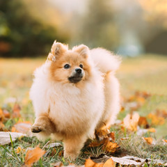 Young Red Puppy Pomeranian Spitz Puppy Dog Step Outdoor In Autum