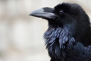 Head shot of a common raven (corvus corax)
