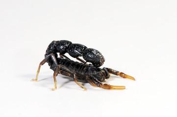 schwarzer Skorpion aus Afghanistan (Orthochirus afghanus) - black scorpion from Afghanistan