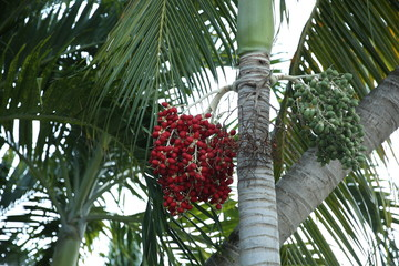red berries of the sandy palm Bactris for background