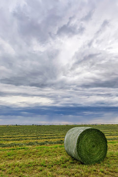 Bales of Hay in Rolls on Fields of Alfalfa