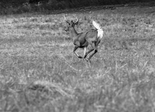 deer jumping, white tail buck running, jump in rut