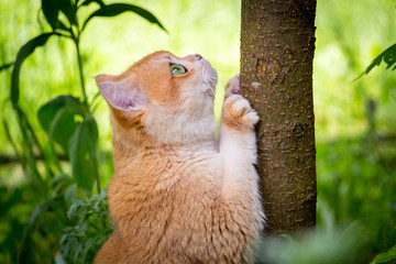 Golden British cat with green eyes sharpens its claws on the tree trunk among the green grass in the garden.