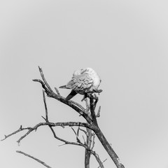 Black and white isolated pigeon on a dry try