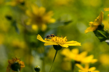 Yellow sesame flowers with honey bee in the field background