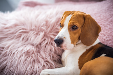 Beagle dog rests on a sofa in living room on fluffy pink cushion